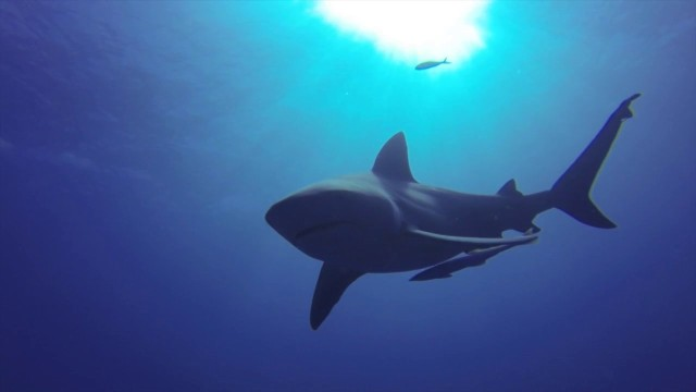 Freediving with Bull Sharks