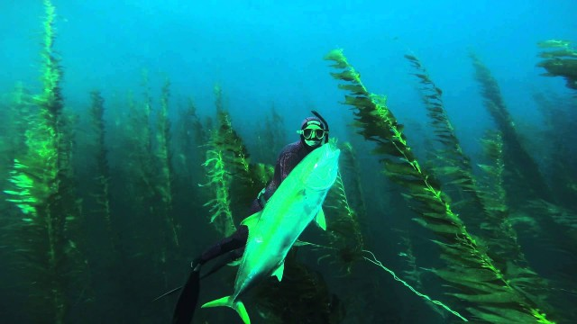 Yellowtail Spearfishing 50#
