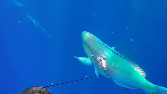 Deep Blue Hawaii Spearfishing