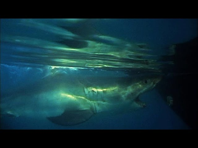 A Powerful Great White Shark Tries to Flip a Boat